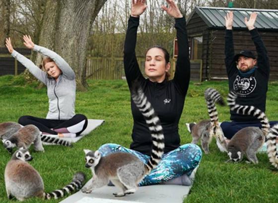 lemur are yogis now