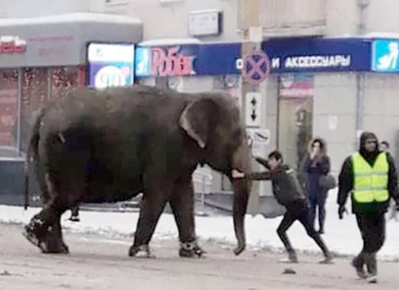 Russian circus elephants break free to play in snow